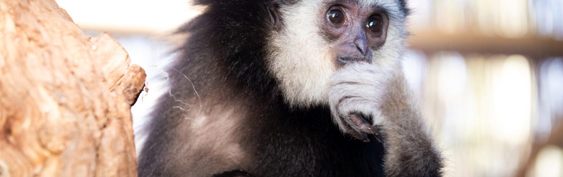 Auf diesem Bild sieht man einen Gibbon, der die Hand am Kinn hat, als würde er gerade nachdenken.