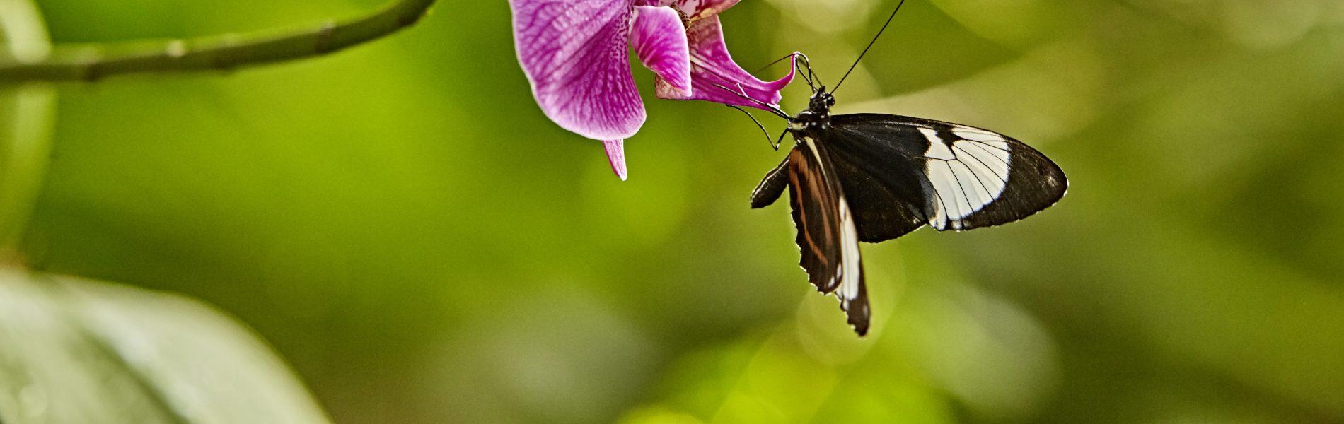 Das Bild zeigt einen Schmetterlink auf einer rosanen Blüte. Der Hintergrund des Bildes ist grün.