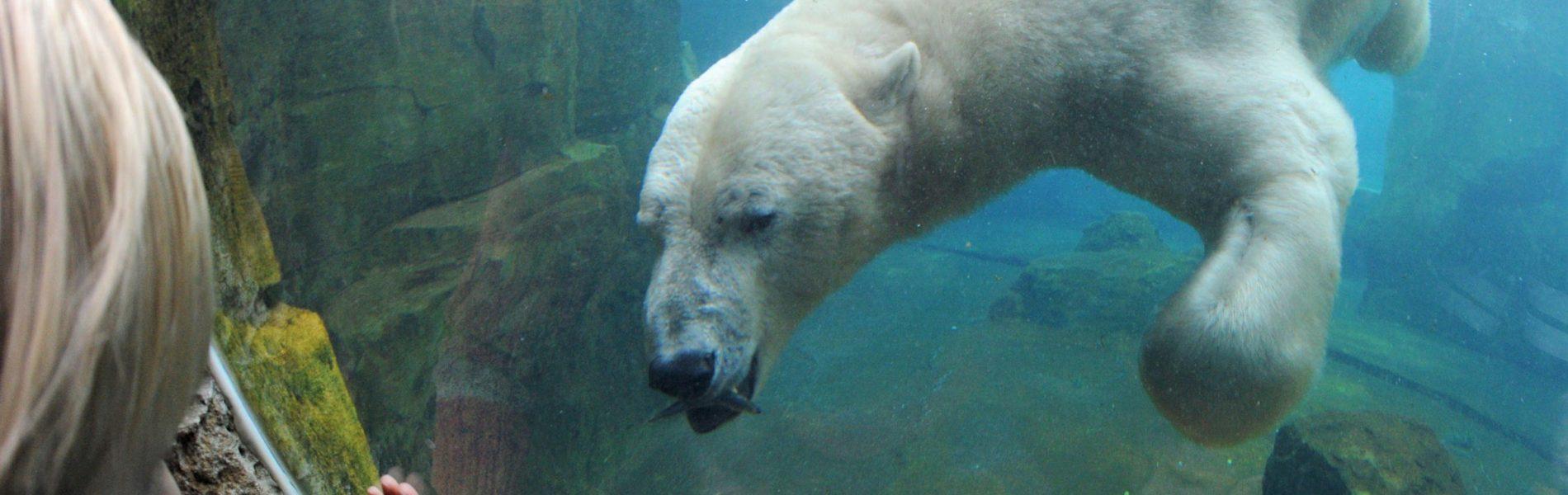 Auf dem Bild sieht man einen Eisbär im Wasser schwimmen. Ein Kind berührt die Glasscheibe, hinter der der Eisbär sich befindet.